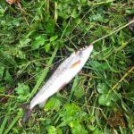 Dezastru ecologic pe Valea Drăganului: Zeci de pești morți păstrăv indigen, țipar, crăiete, lipan, mreană și slăvoacă!